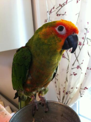 Shamrock-Gold Capped Conure Owned by Rhonda