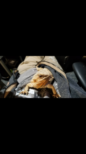 Rocky-2 year old Bearded Dragon Owned by Jamie